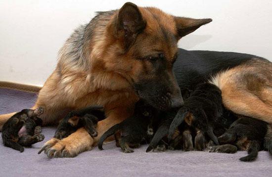 Щенки немецкой овчарки кормятся у мамы