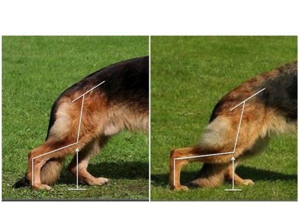 дисплозия у немецкой овчарки рисунок