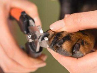 Обрезание когтей овчарки при помощи когтереза