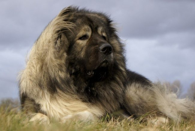 кавказкая овчарка