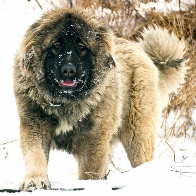 кавказкая овчарка зимой