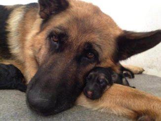немецкая овчарка и ее щенок