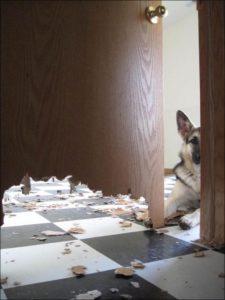 немецкая овчарка сгрызла дверь