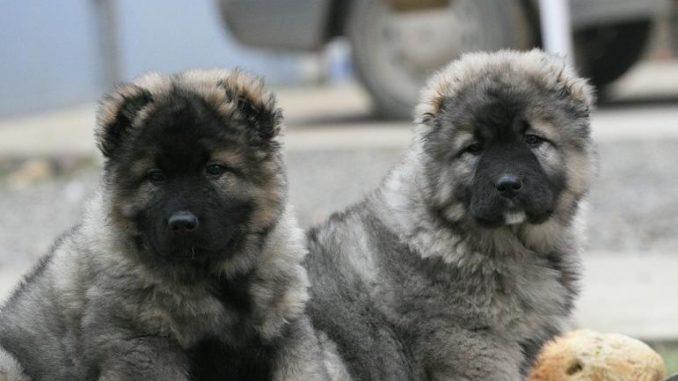 щенки кавказкой овчарки