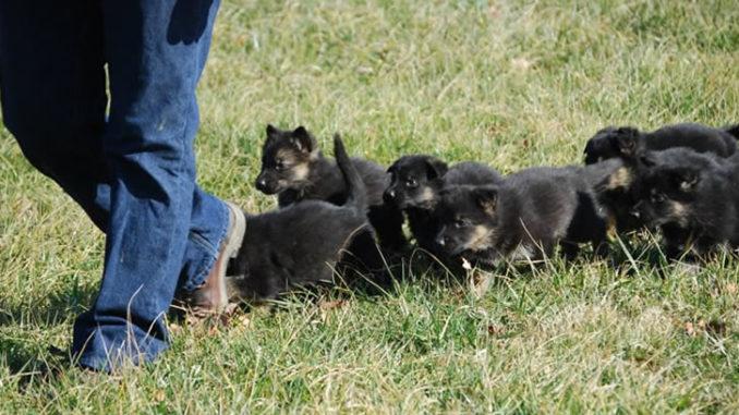 много щенков овчарки бегут за человеком