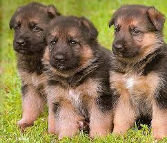 окрас щенков немецкой овчарки