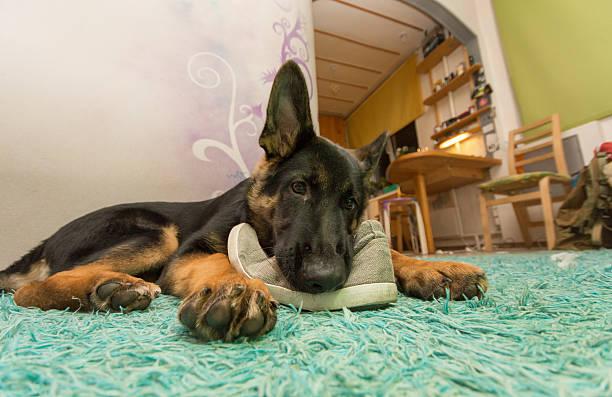 щенок немецкой овчарки грызет обувь