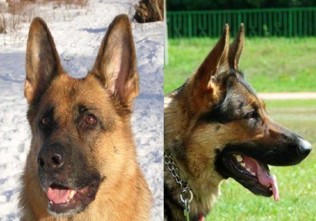 Уши взрослой собаки