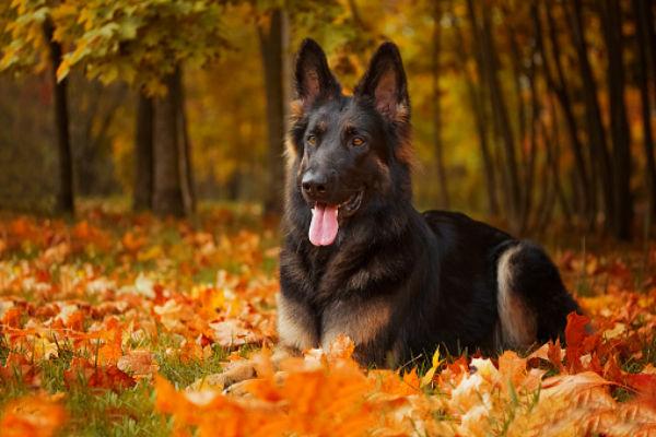 Черная немецкая овчарка на прогулке осенью