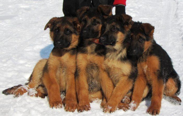 Четыре щенки немецкой овчарки