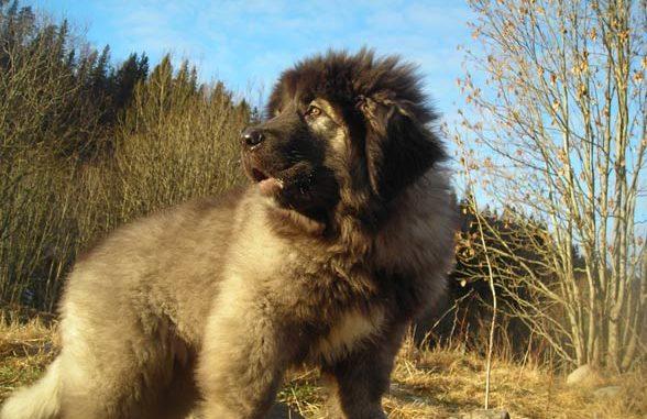 Щенок кавказской овчарки смотрит в даль