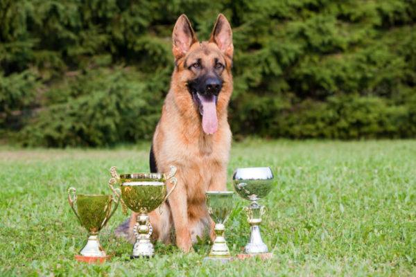 Немецкая овчарка с наградами