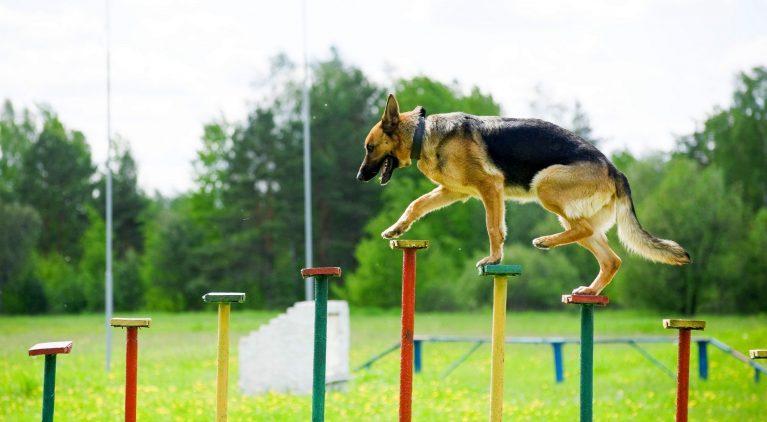 Немецкая овчарка участвует в соревнованиях