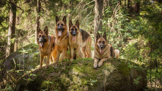 Немецкие овчарки в лесу