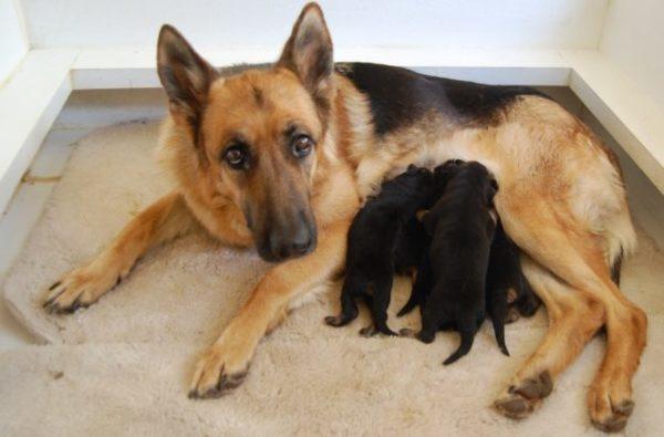 немецкая овчарка кормит щенков