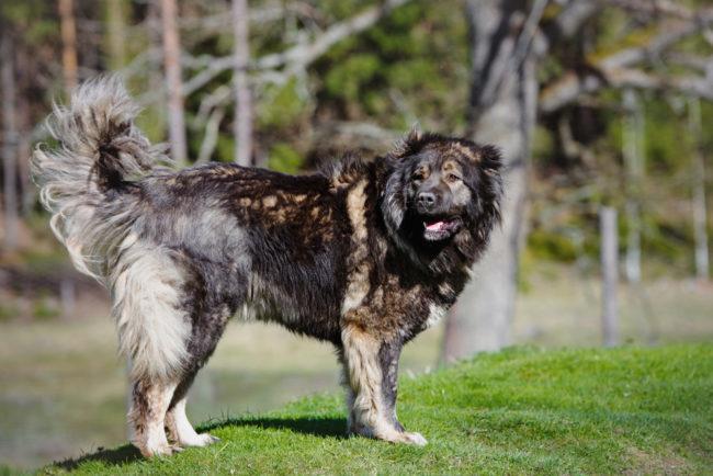 Кавказская овчарка красивого окраса