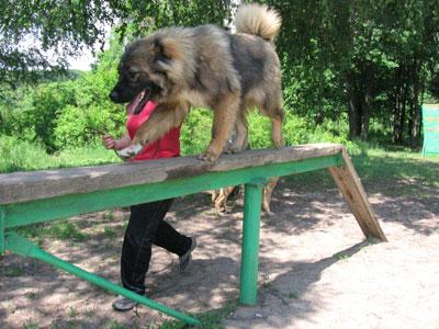 тренировка кавказской овчарки