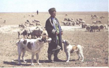 Алабай охраняет стадо овец