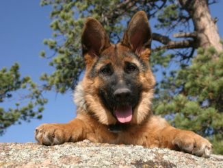 Веселый щенок немецкой овчарки