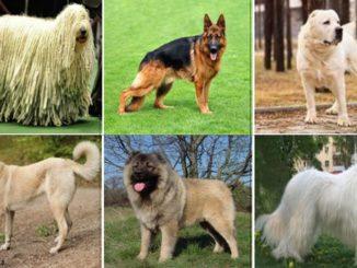 Разные породы овчарок