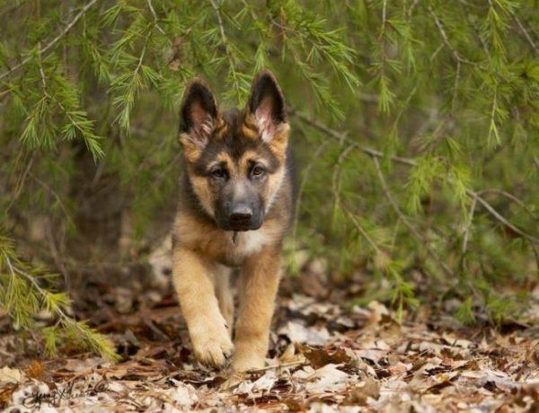 щенок немецкой овчарки в лесу