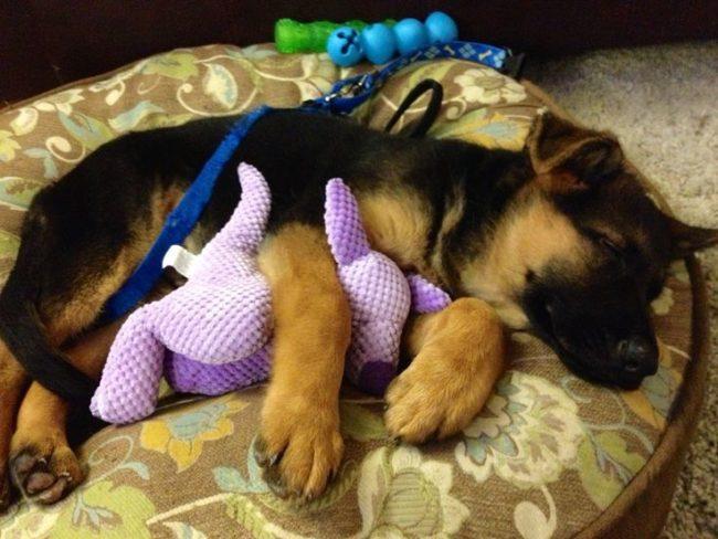 собачка спит с игрушкой