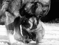 наказание щенка кавказской овчарки