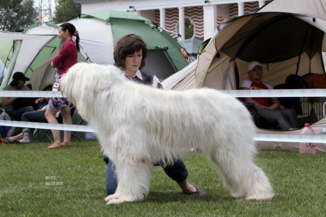 самая большая овчарка
