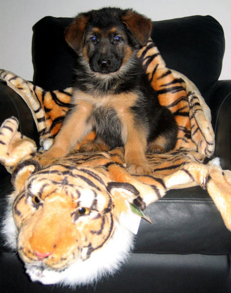 Щенок немецкой овчарки и тигр