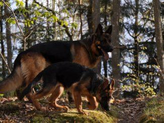 Взрослая немецкая овчарка и щенок в лесу