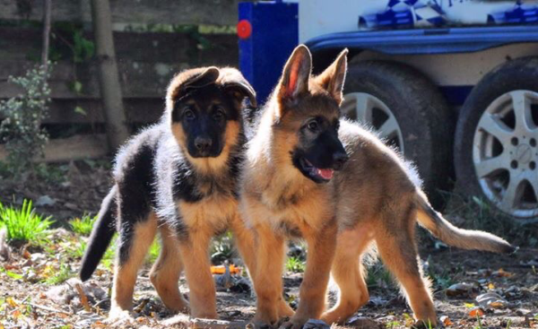 Два щенка немецкой овчарки