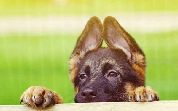 Уши щенка немецкой овчарки