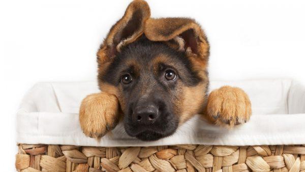 У щенка немецкой овчарки упали уши