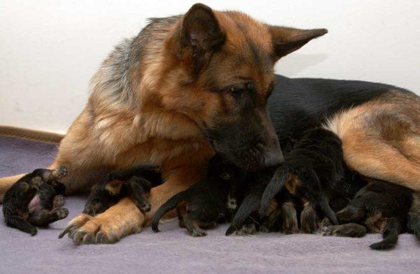 Немецкая овчарка и ее новорожденные щенки