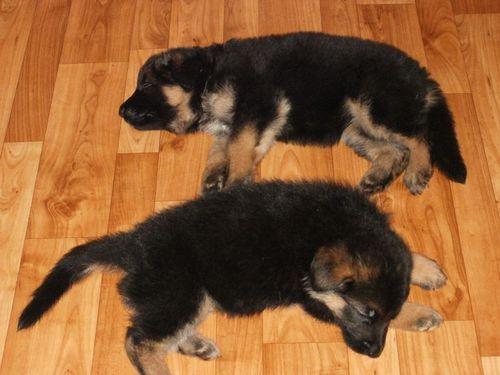 Два щенка уснули после сытного обеда