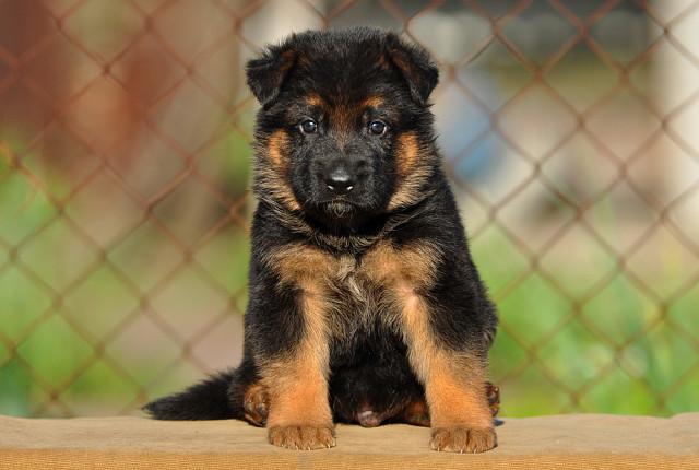 Как и чем кормить щенка немецкой овчаркив 1 месяц, правильный рацион питания и частота кормления