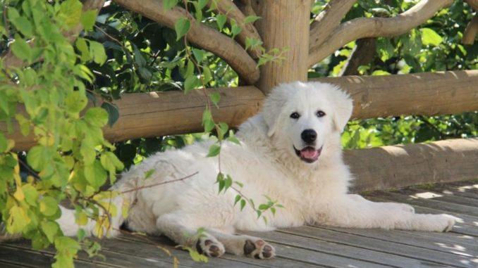 Итальянская мареммо-абруццкая овчарка отдыхает в тени дерева