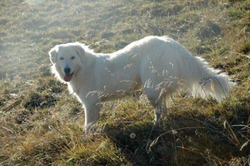 Итальянская мареммо-абруццкая овчарка на прогулке