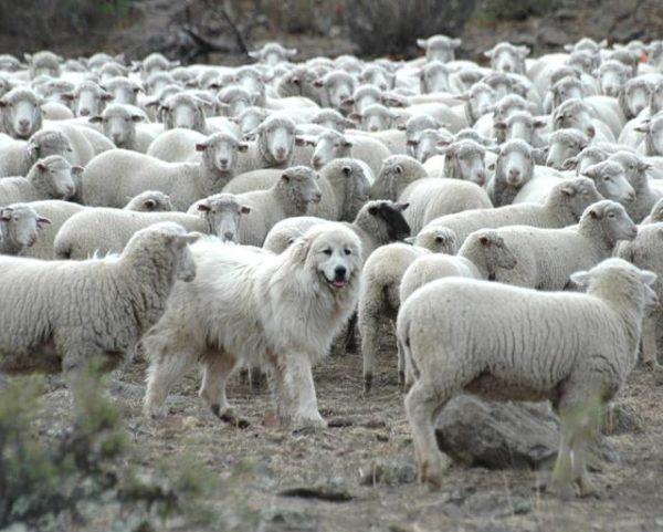 Итальянская мареммо-абруццкая овчарка пасет баранов