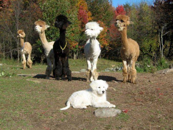 Щенок маремм и ламы