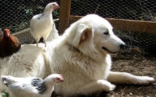 Итальянская мареммо-абруццкая овчарка и куры