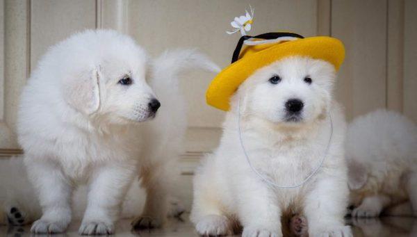 Смешные щенки итальянской мареммо-абруццкой овчарки