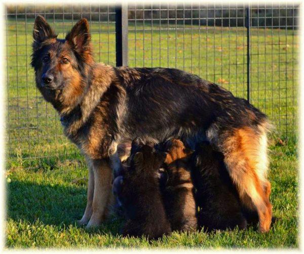 Немецкая овчарка кормит своих малышей