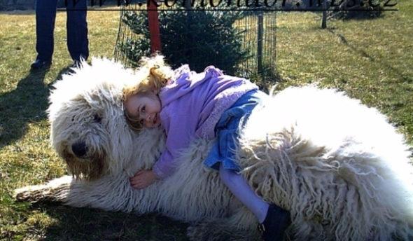Венгерская овчарка и ребенок