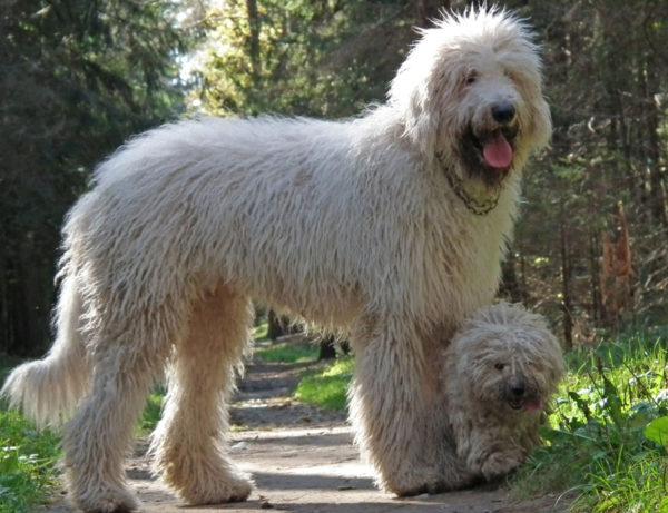 Командор с щенок