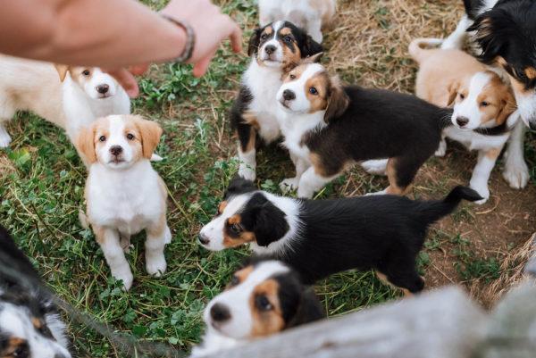 Милые щенки английской овчарки