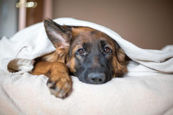Немецкая овчарка лежит под одеялом