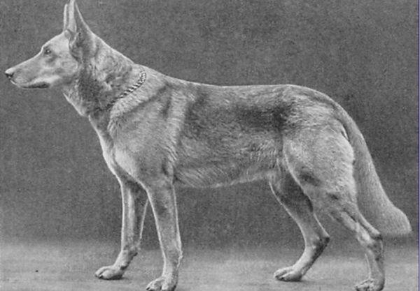 Хоранд фон Графрат - официальный родоначальник немецкой овчарки