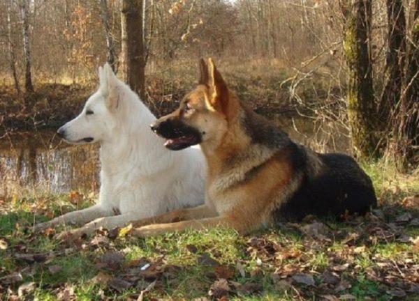 Немецкая овчарка и белая швейцарская овчарка вместе