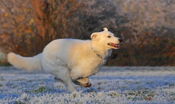 Белая швейцарская овчарка бежит по полю